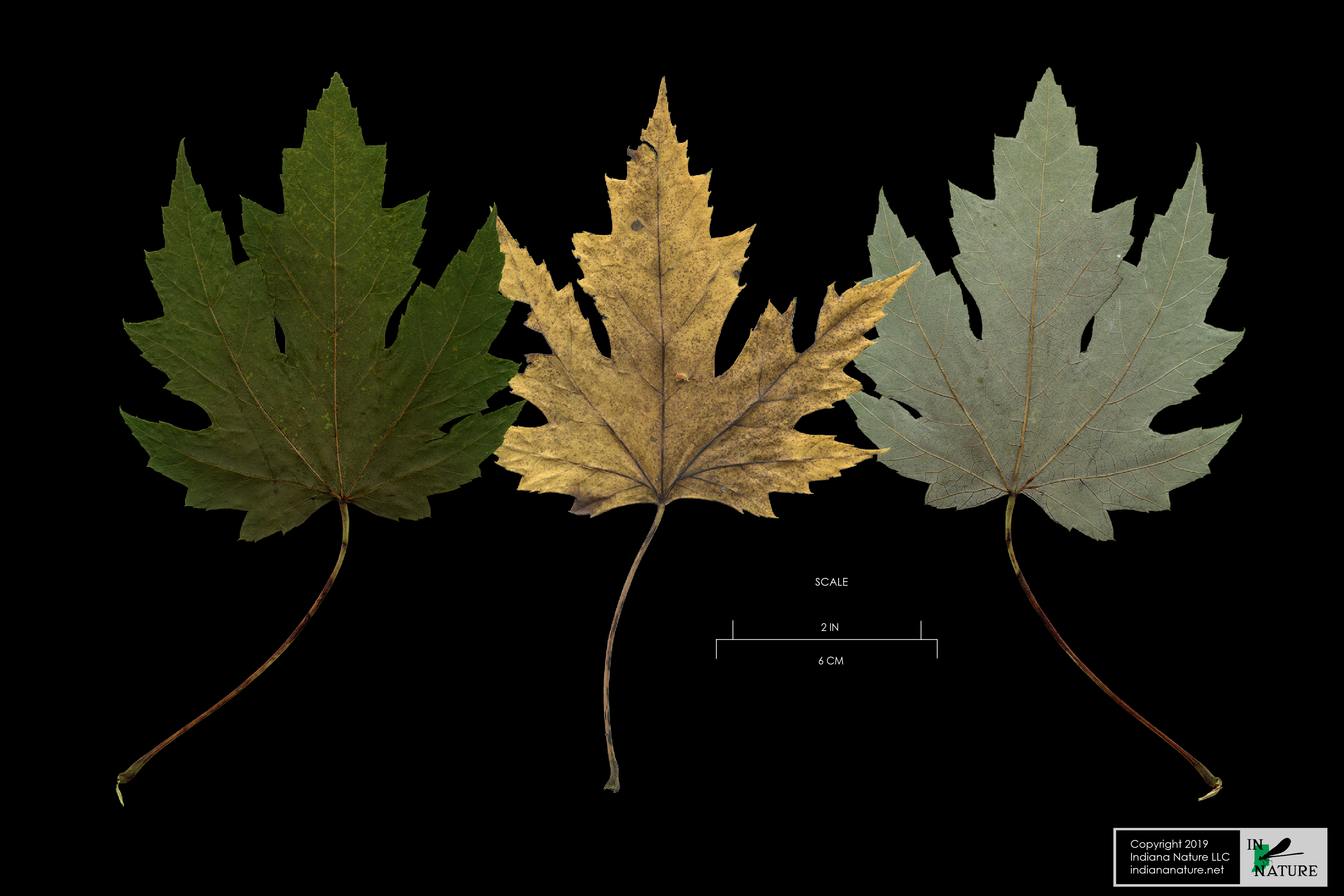 Once Upon A Time Maple Leaf The Botanical Collection
